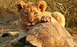 individuelle Safari in Südafrika