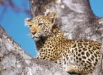 see leopards at DOMIZILE REISEN Safari