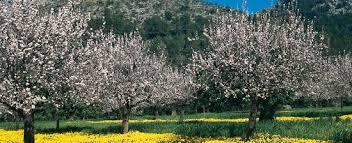 Zur Mandelblüte auf die Balearen