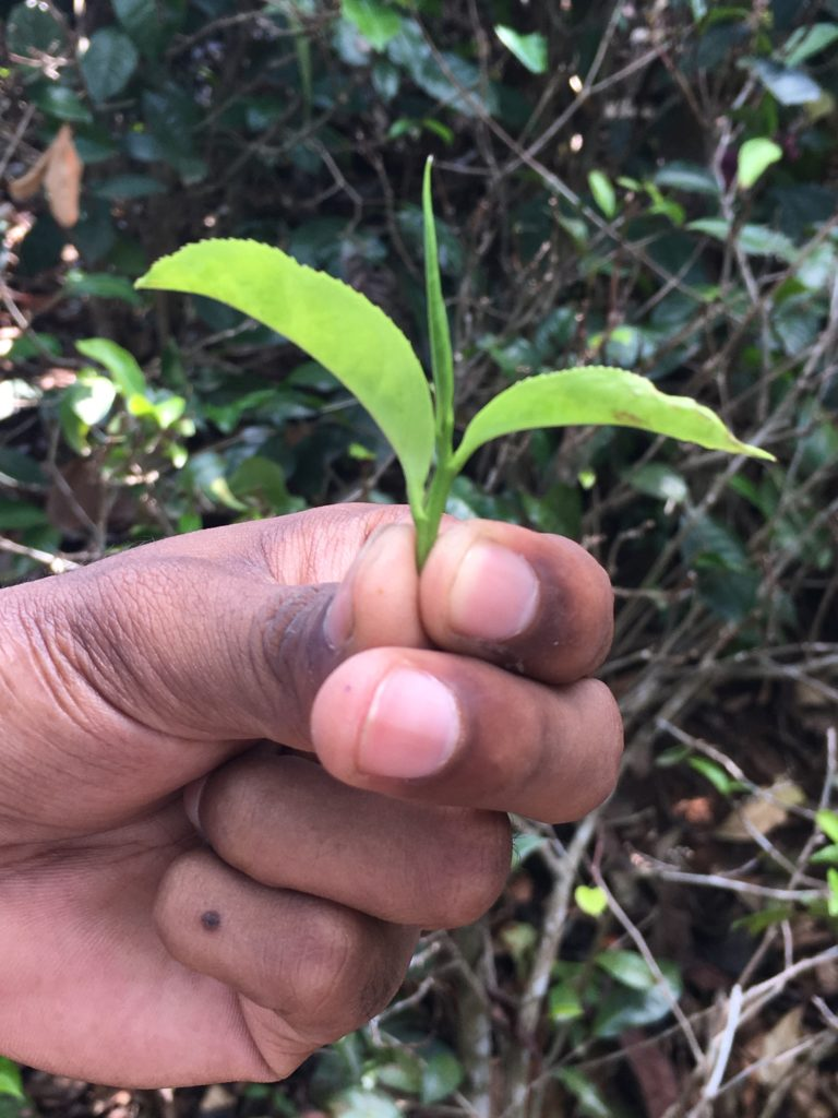 Sri Lanka produziert fast ein Viertel der gesamten weltweiten Teeproduktion.