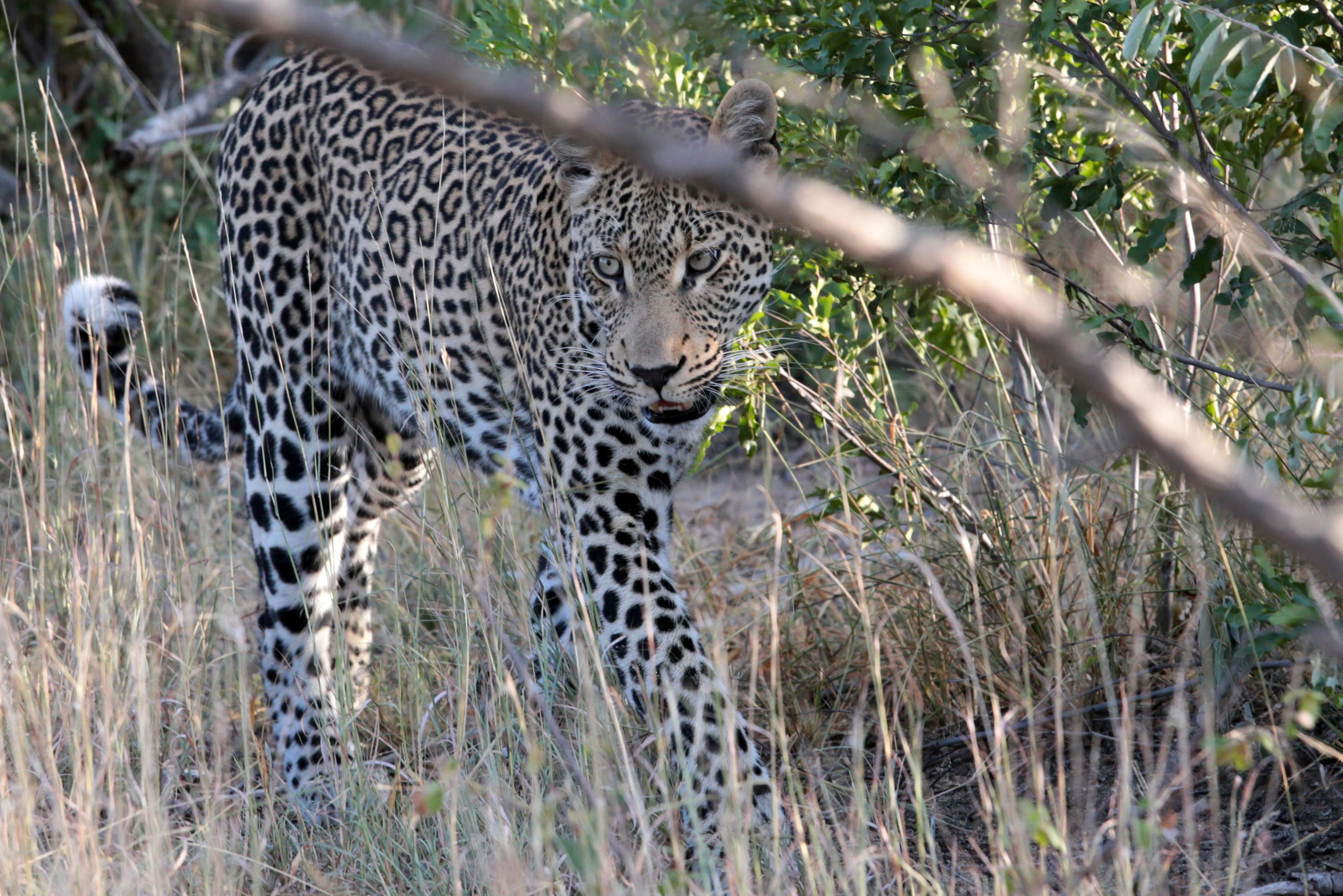 Leopard in den Büschen im Yala Nationalpark - Sri Lanka