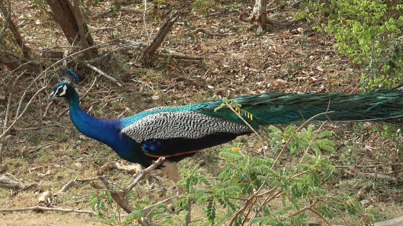 Schönheit der Natur - Pfau - in Yala Sri Lanka