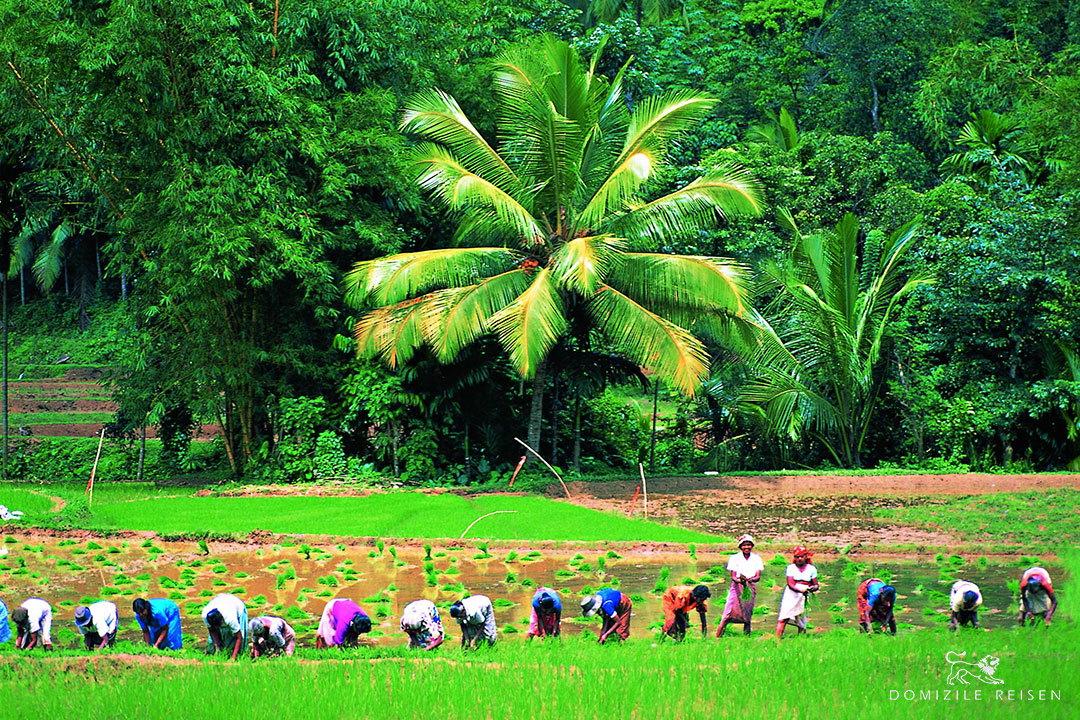 paddy field Sri Lanka