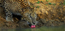 leopard drinkng water thumb