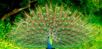 peacock in wild life with beautiful feathers thumb
