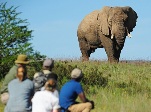 Walking safari elephants in South Africa